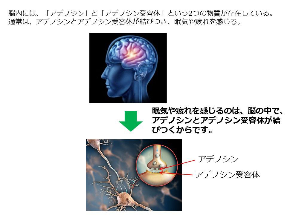 脳内には、「アデノシン」と「アデノシン受容体」という2つの物質が存在している。