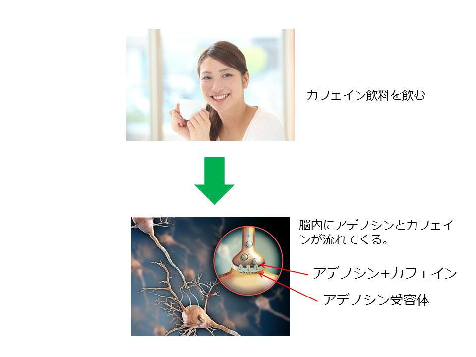 脳内にアデノシンとカフェインが流れてくる。